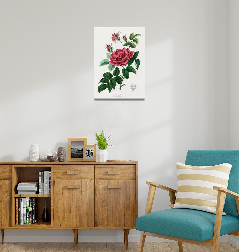 """""""Vintage Botanical French rose""""  by FineArtClassics"""