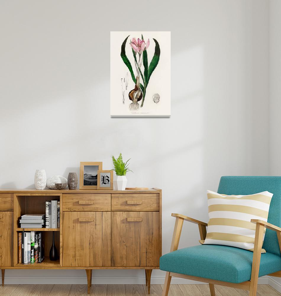 """""""Vintage Botanical Autumn crocus""""  by FineArtClassics"""