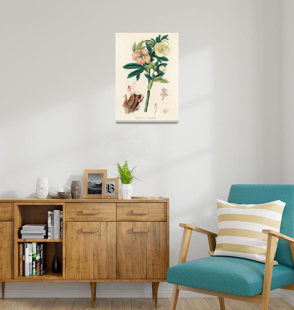 """Vintage Botanical Hellebore""  by FineArtClassics"