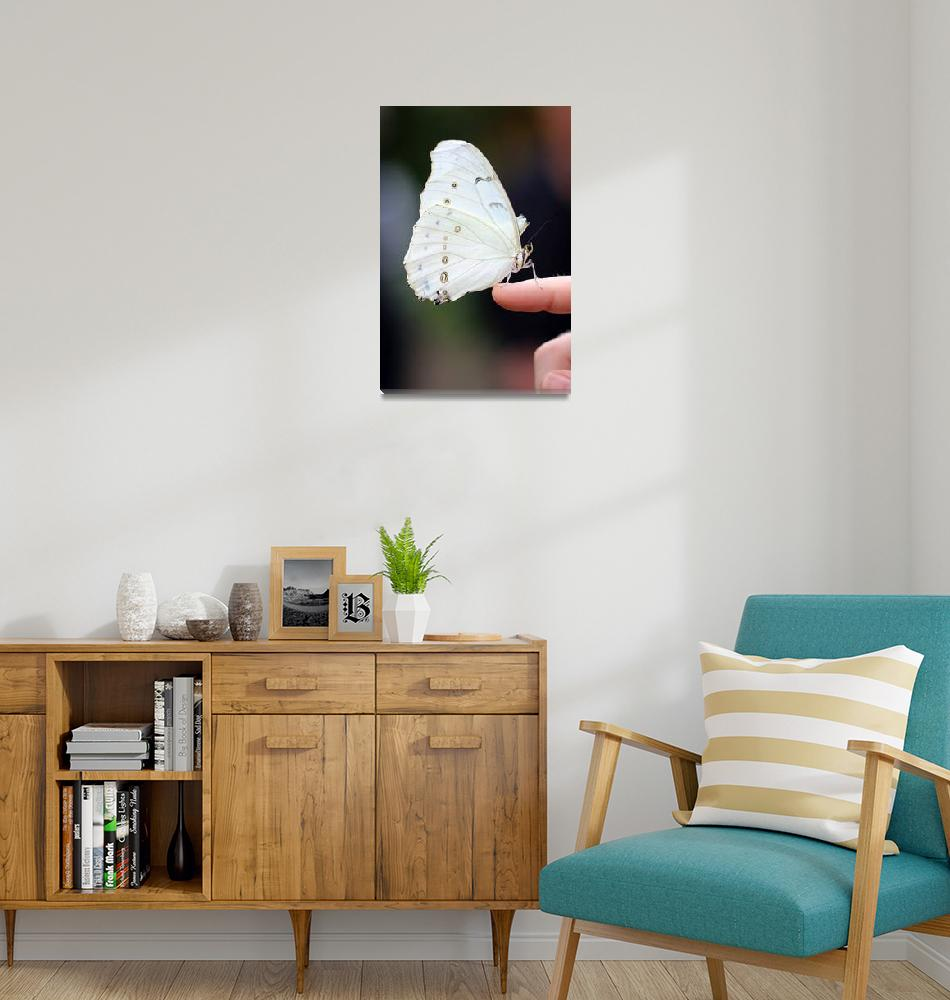 """White Morpho Butterfly Balancing""  (2017) by KsWorldArt"