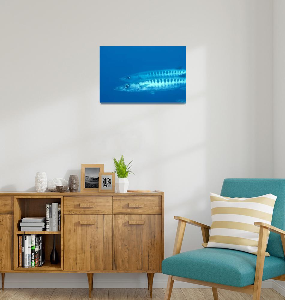 """Palau, Barracuda Pair Side View In Clear Blue Ocea""  by DesignPics"