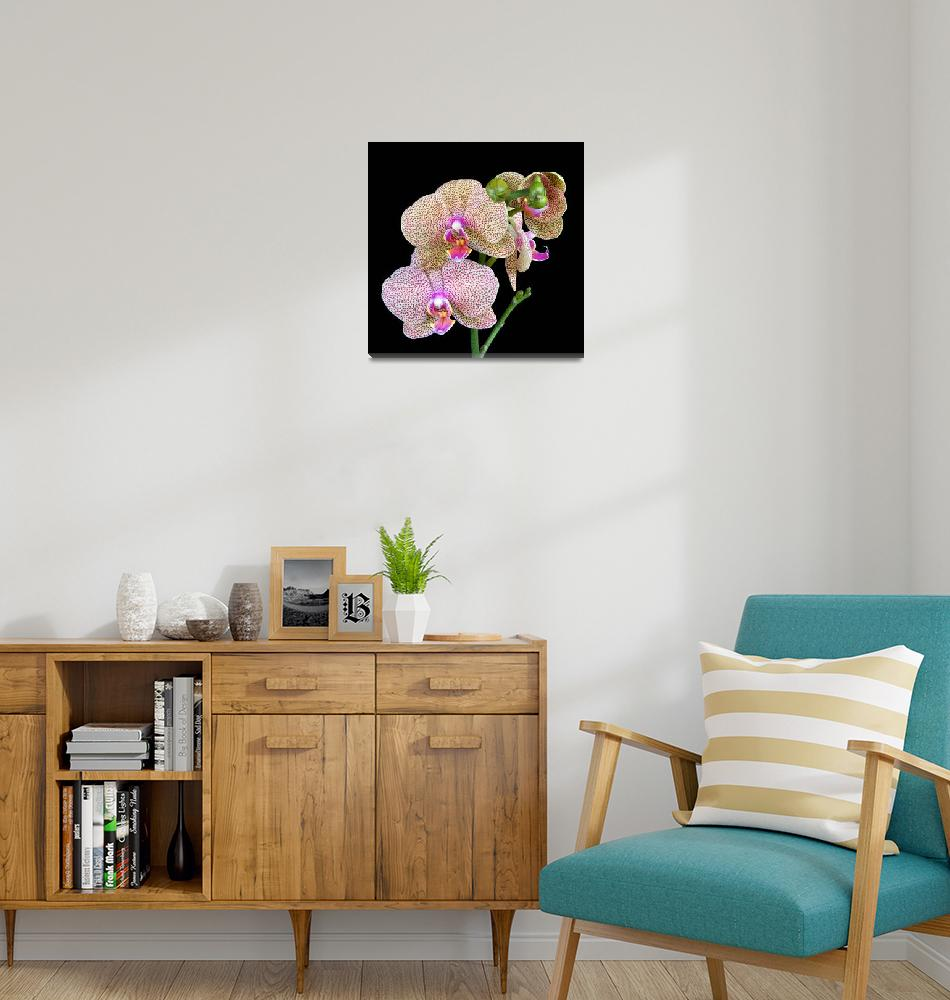 """Phalaenopsis Orchid""  (2009) by ImageArt-Photography"