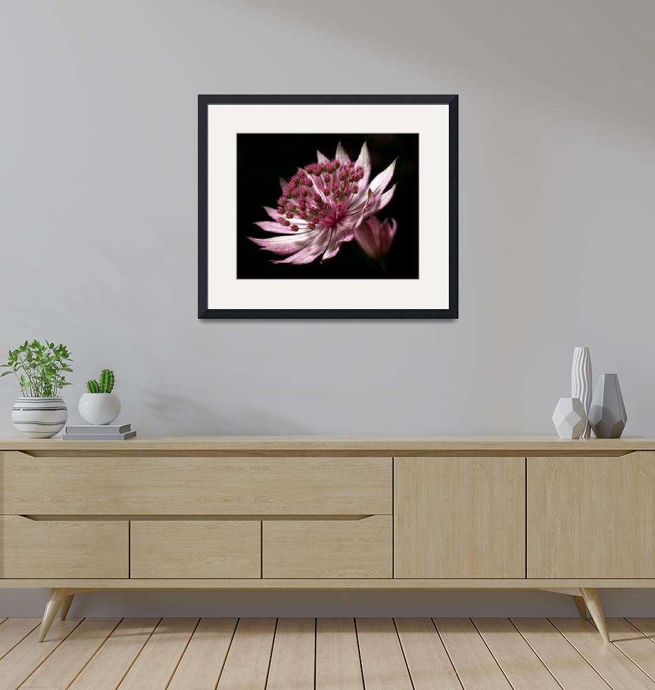 """""""Astrantia""""  (2008) by roger"""