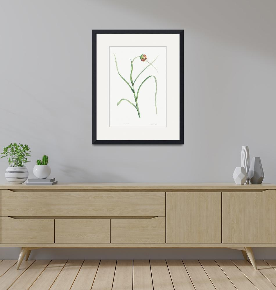 """""""Cultivated Garlic Vintage Botanical""""  by FineArtClassics"""