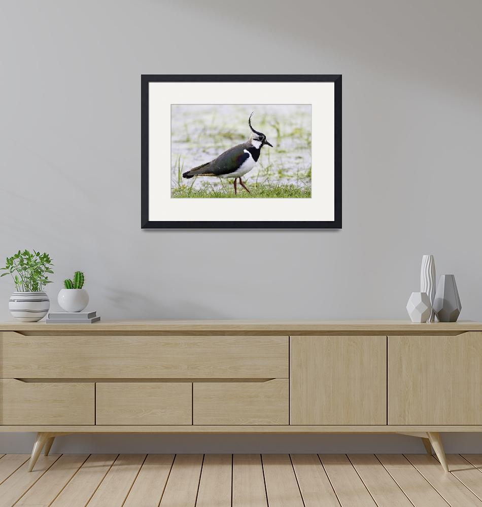 """""""Northern Plover, Green Lapwing, or Peewit, Kent, E""""  (2014) by MrBennettkent"""