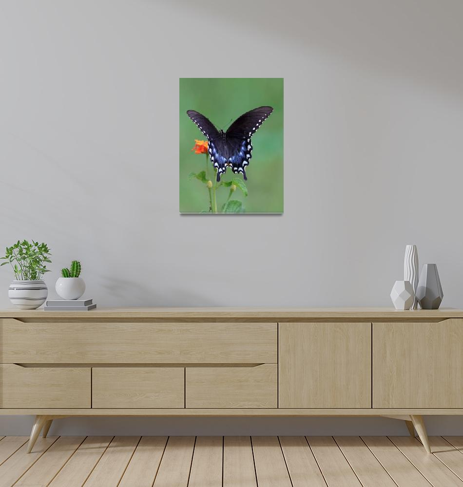 """""""Spicebush Swallowtail""""  (2008) by Tanager"""