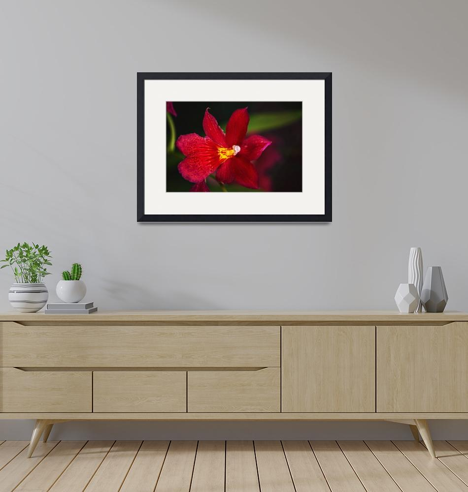 """""""Red Orchid""""  (2014) by jmoliverphotography"""