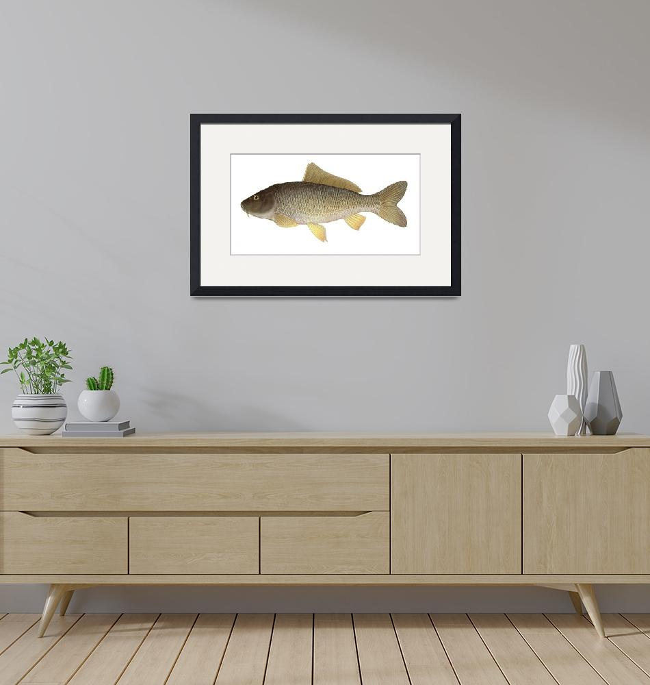 """""""Illustration of a common carp""""  by stocktrekimages"""