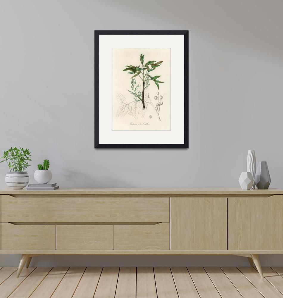 """Vintage Botanical Terebinth""  by FineArtClassics"