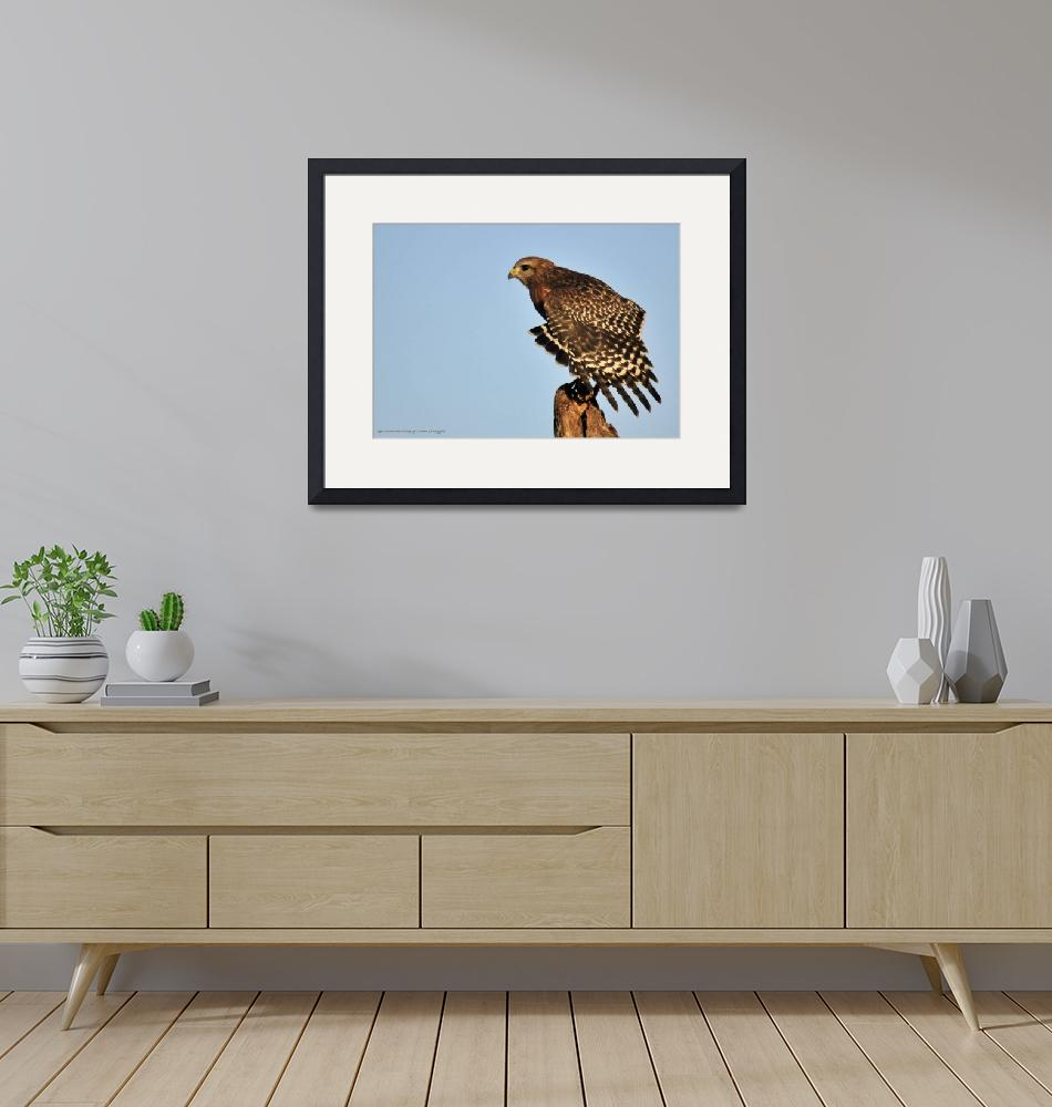 """""""Red Shouldered Hawk""""  (2014) by doncon402"""