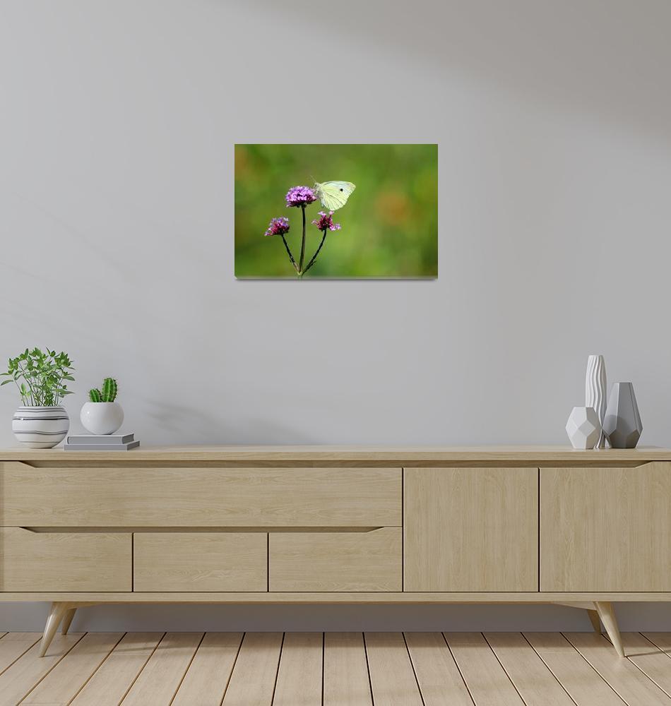 """Cabbage White Butterfly on Verbena 2014""  (2014) by KsWorldArt"