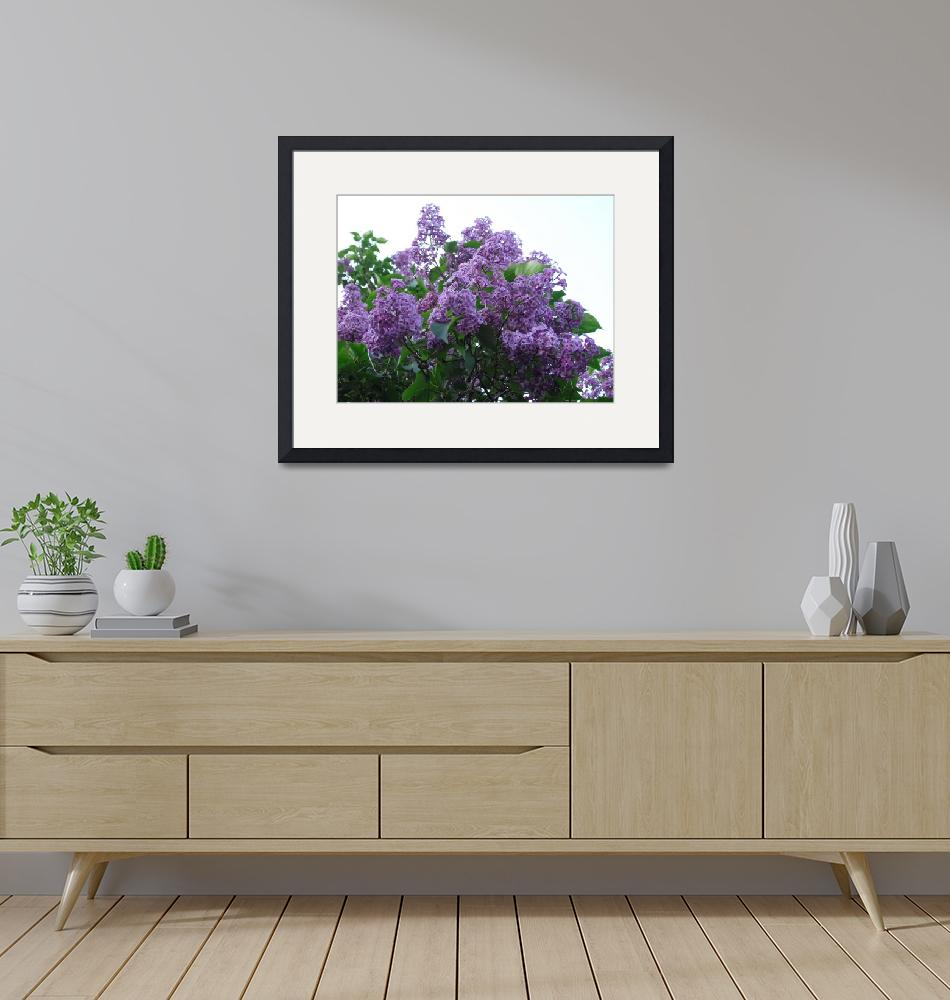 """""""Highland Park, Rochester NY - Lilacs""""  by stacywest"""