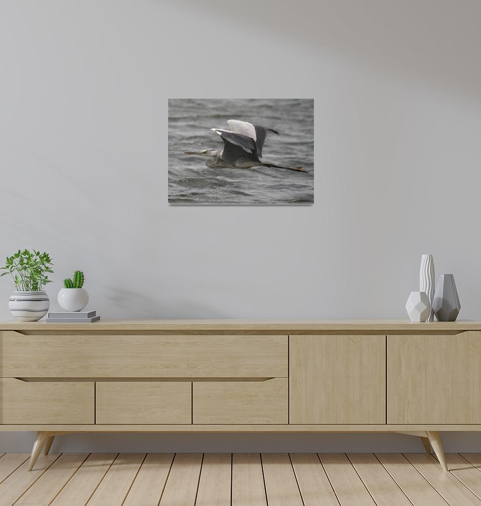 """Gray Heron""  by ChamindaJayaratne"