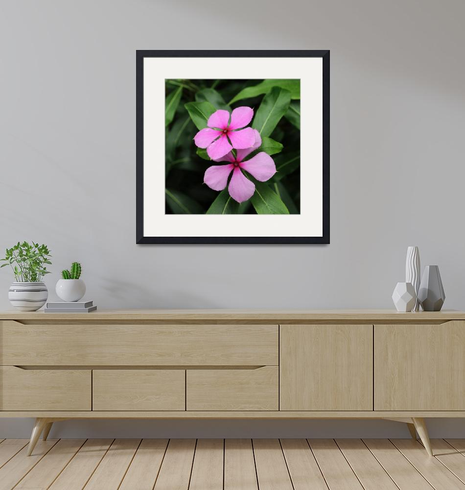 """Twin Madagascar Periwinkle Flowers""  (2014) by AdrianWale"