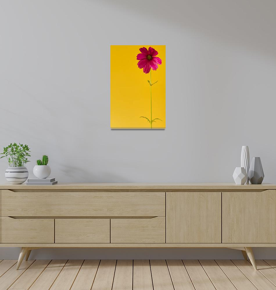"""""""a pink cosmos in a yellow world""""  (2013) by boppintheblues"""