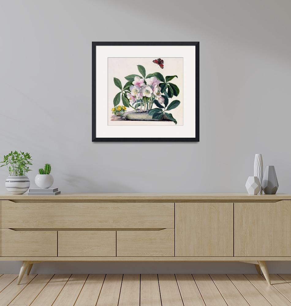 """""""Christmas Rose (Helleborus niger) and Winter Aconi""""  by fineartmasters"""