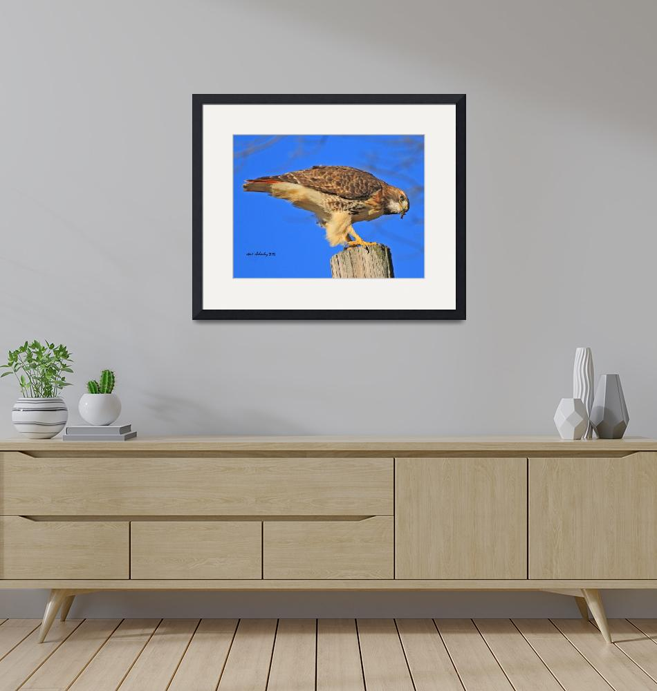 """Red-tailed Hawk""  (2015) by shelshots"