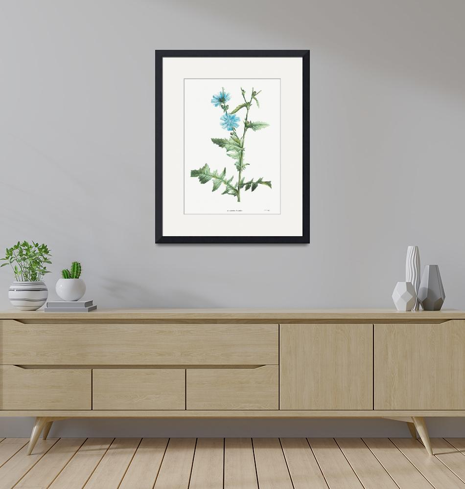 """Chicory Vintage Botanical""  by FineArtClassics"