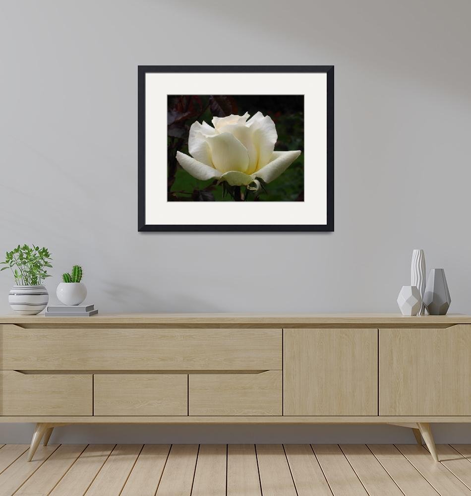 """""""white rose""""  (2006) by Lala"""