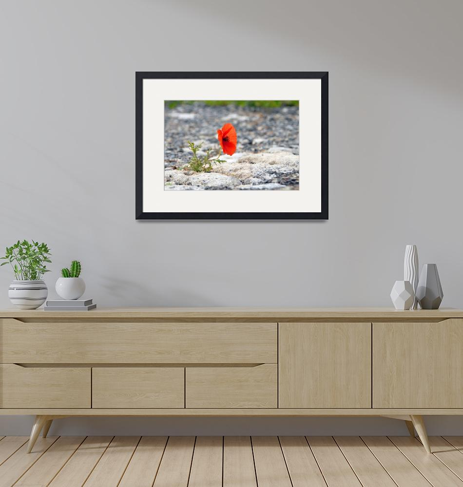 """""""papaver-red flower growing out of pavement""""  (2009) by EvripidouM"""