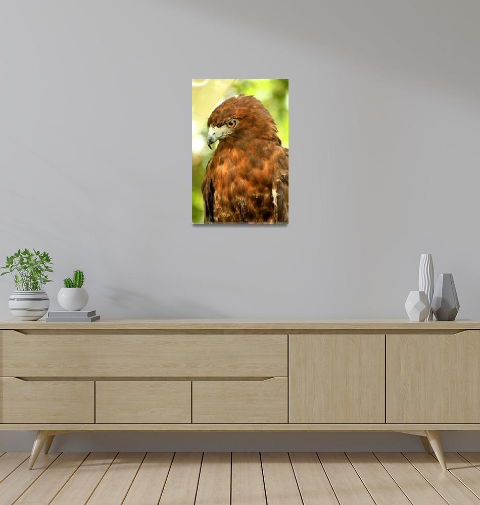 """Red Tailed Hawk""  (2009) by rayjacque"