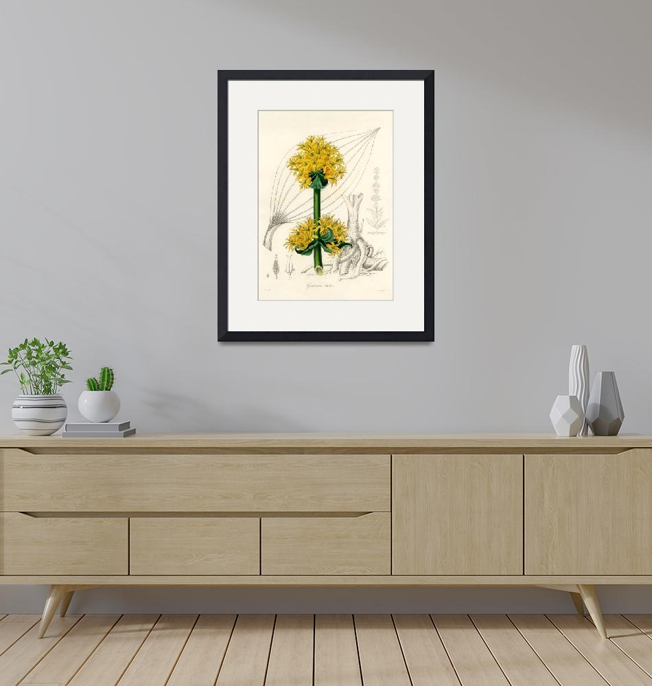 """""""Vintage Botanical Bitter root""""  by FineArtClassics"""
