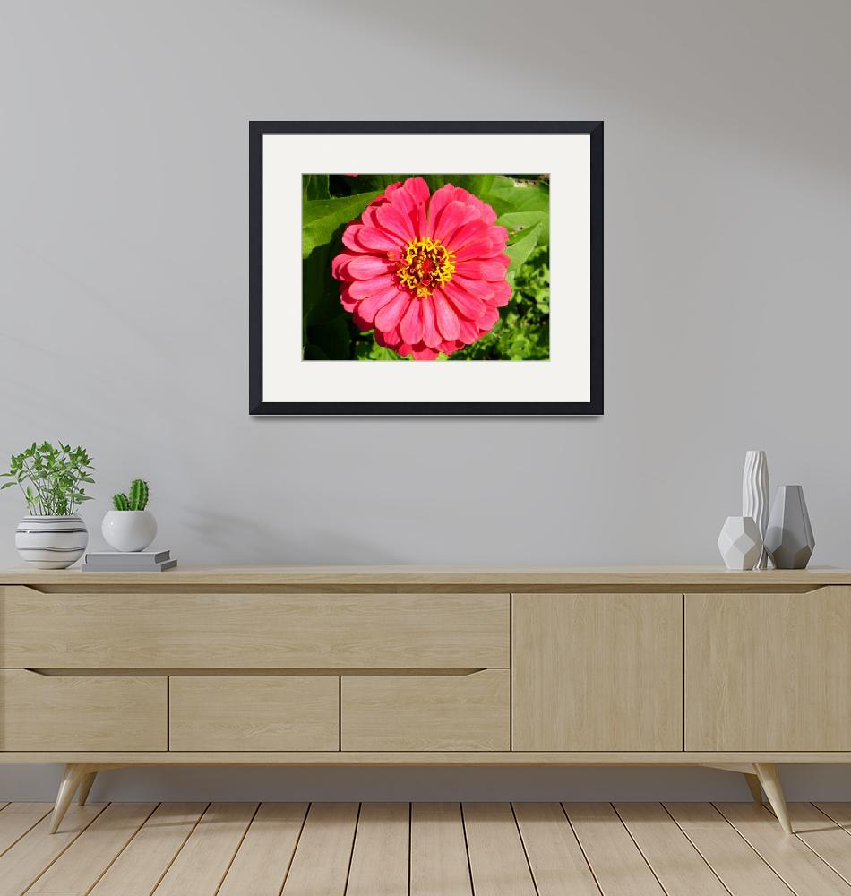 """Pink Zinnia"" (2009) by PASpencer"