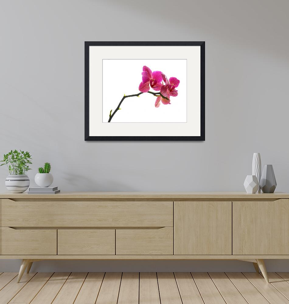 """""""Orchid""""  (2008) by Lorenzo_Salas"""