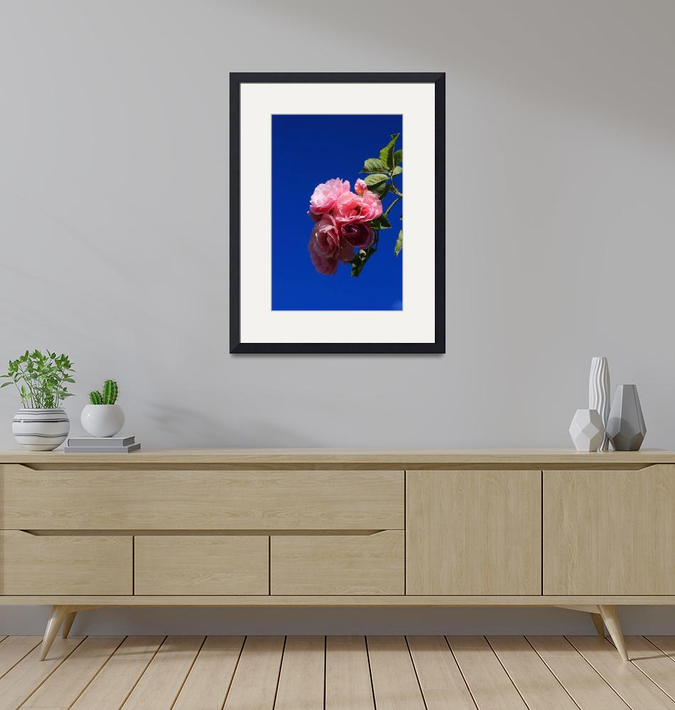 """""""Pink Roses Against Blue Sky""""  (2015) by rhamm"""