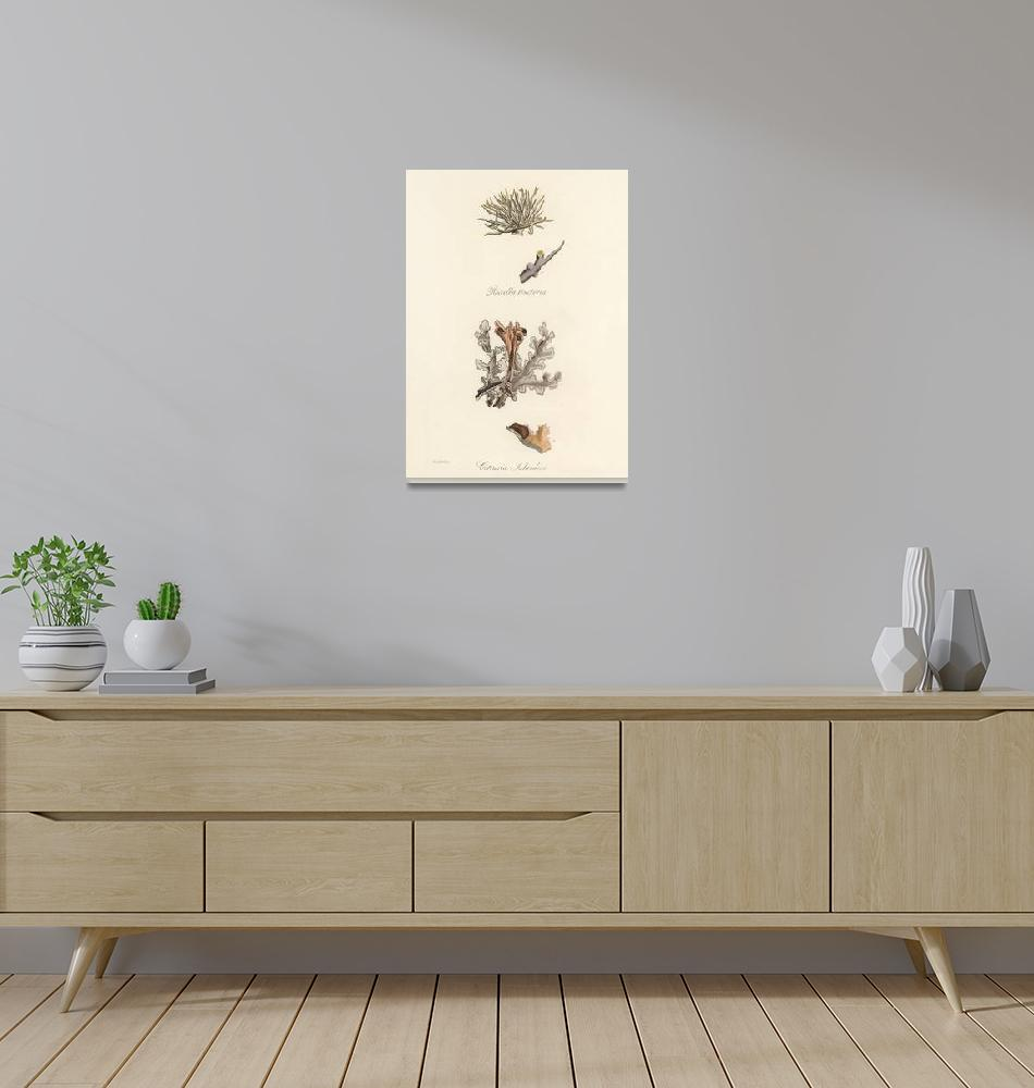 """Vintage Botanical Iceland Moss""  by FineArtClassics"