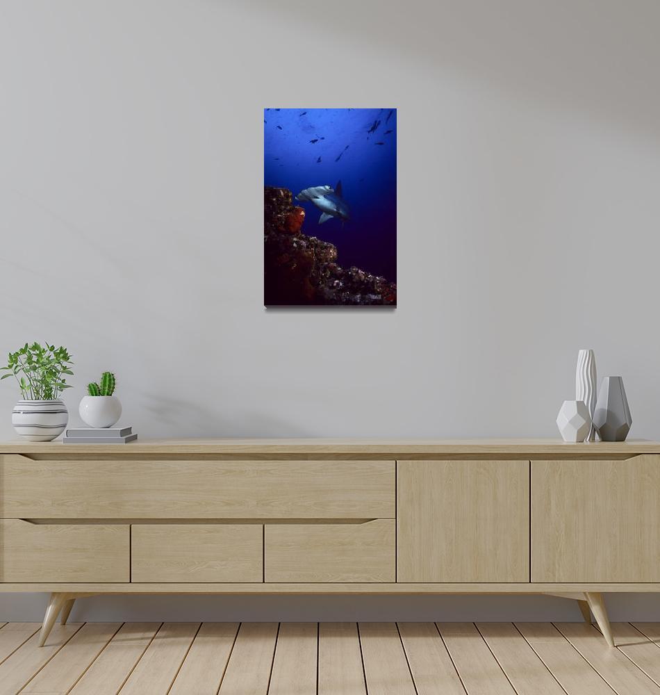 """Hammerhead Shark at Cocos Island, Costa Rica""  by Michelehall"