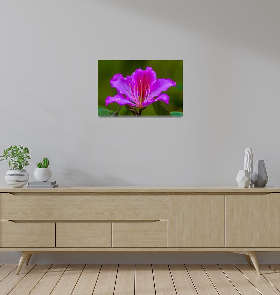 """purple orchid tree flower""  (2012) by puravidaviews"
