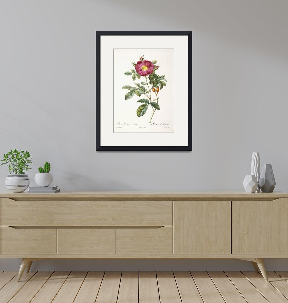 """Rosa Damascena Coccina (Portland rose)""  by fineartmasters"