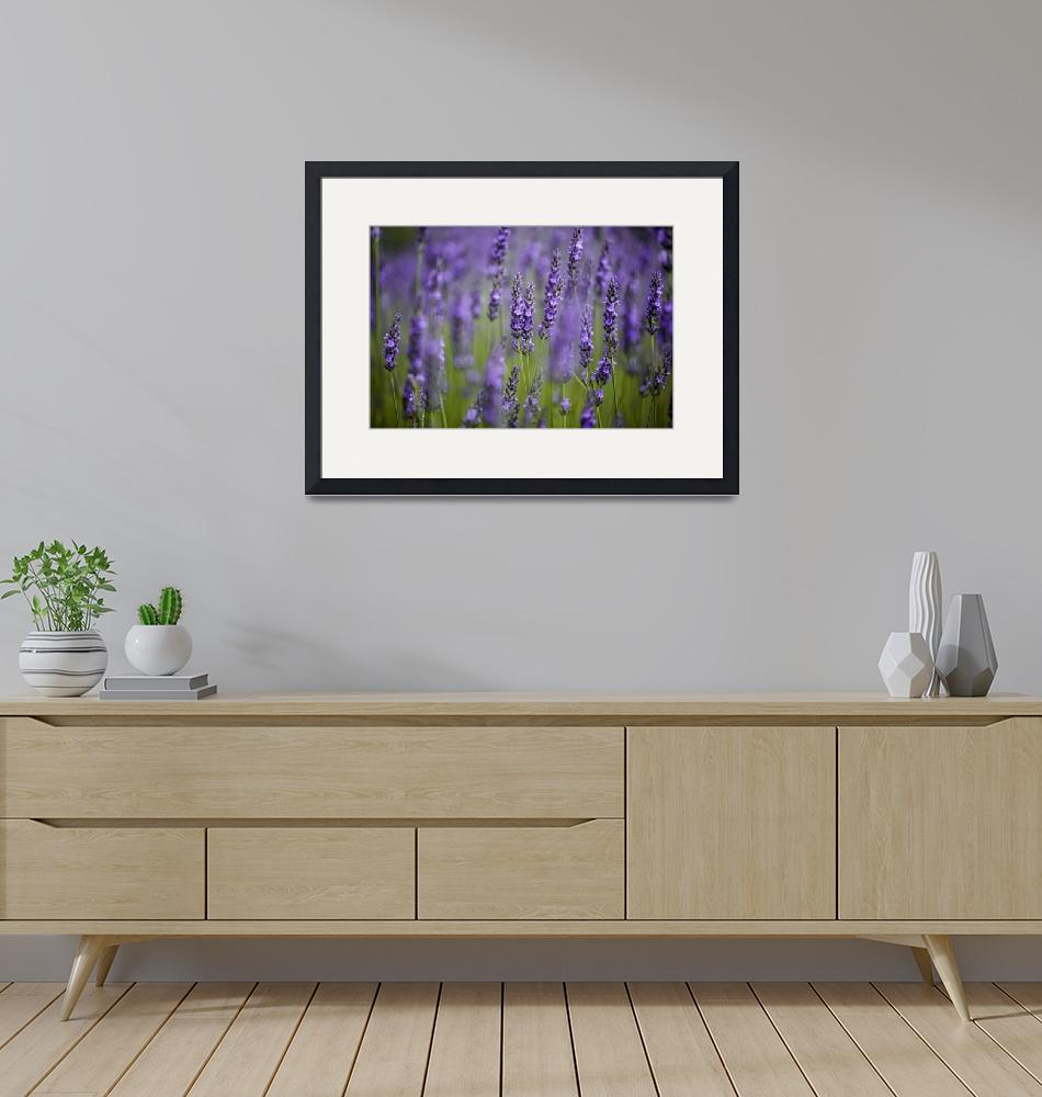 """""""Beautiful Lavender blooming in early summer"""" by nailiaschwarz"""