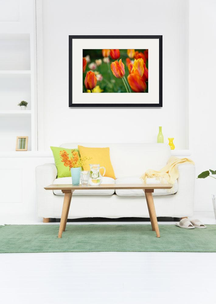 """""""Orange Tulips, Brooklyn Botanical Garden&quot  (2009) by tomharrisonphotography"""