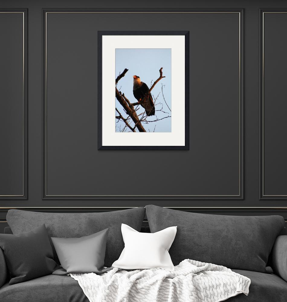 """""""Northern Crested-Caracara""""  (2014) by chris77"""