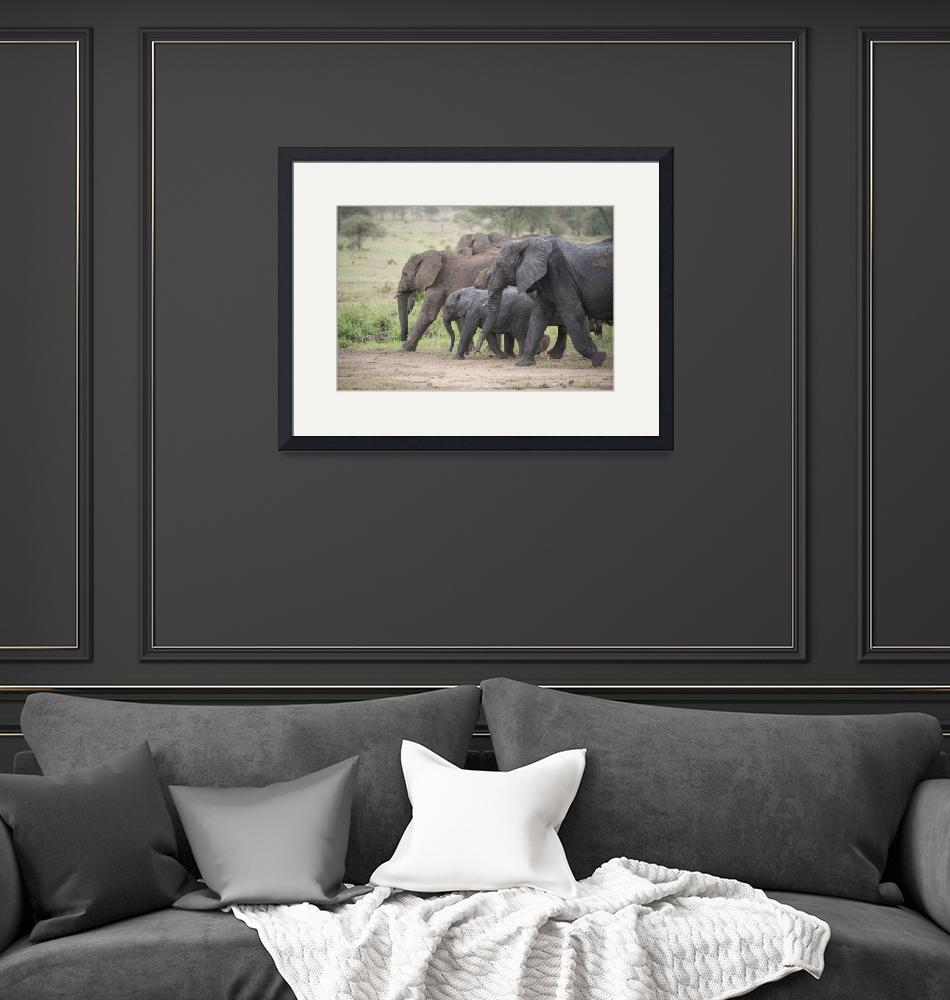 """""""Elephant Family on the March""""  (2014) by SederquistPhotography"""