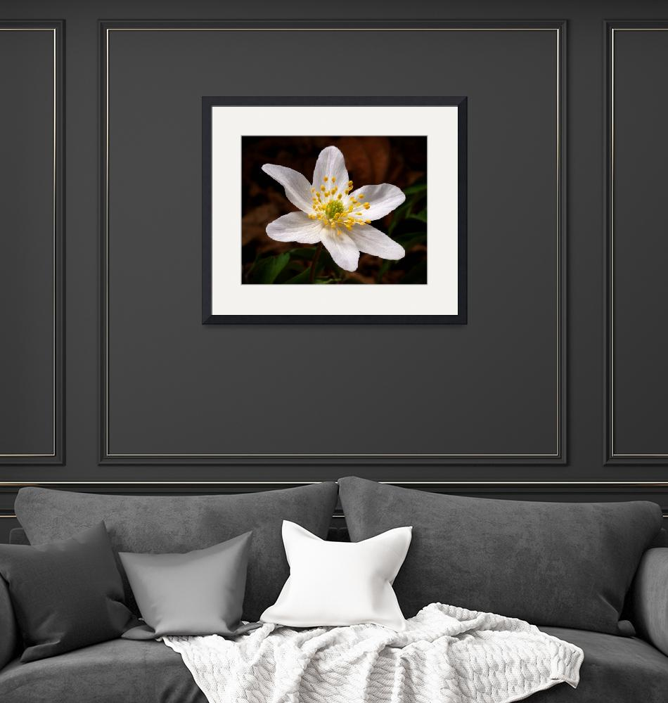 """Wood Anemone""  (2010) by roger"