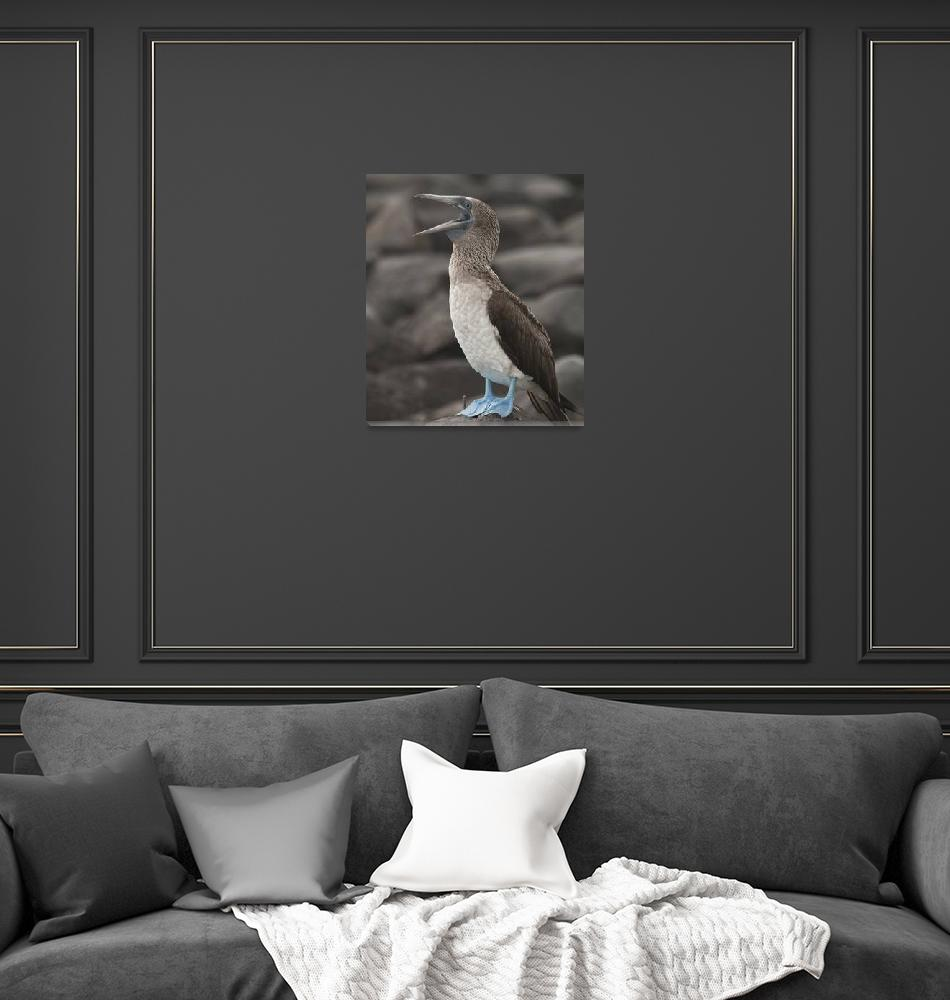 """""""Blue Footed Booby""""  (2010) by SederquistPhotography"""