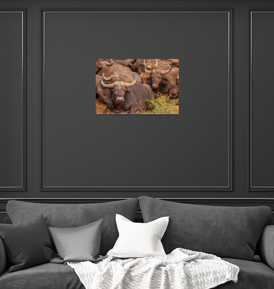 """Cape Buffalo""  (2011) by mjphoto-graphics"