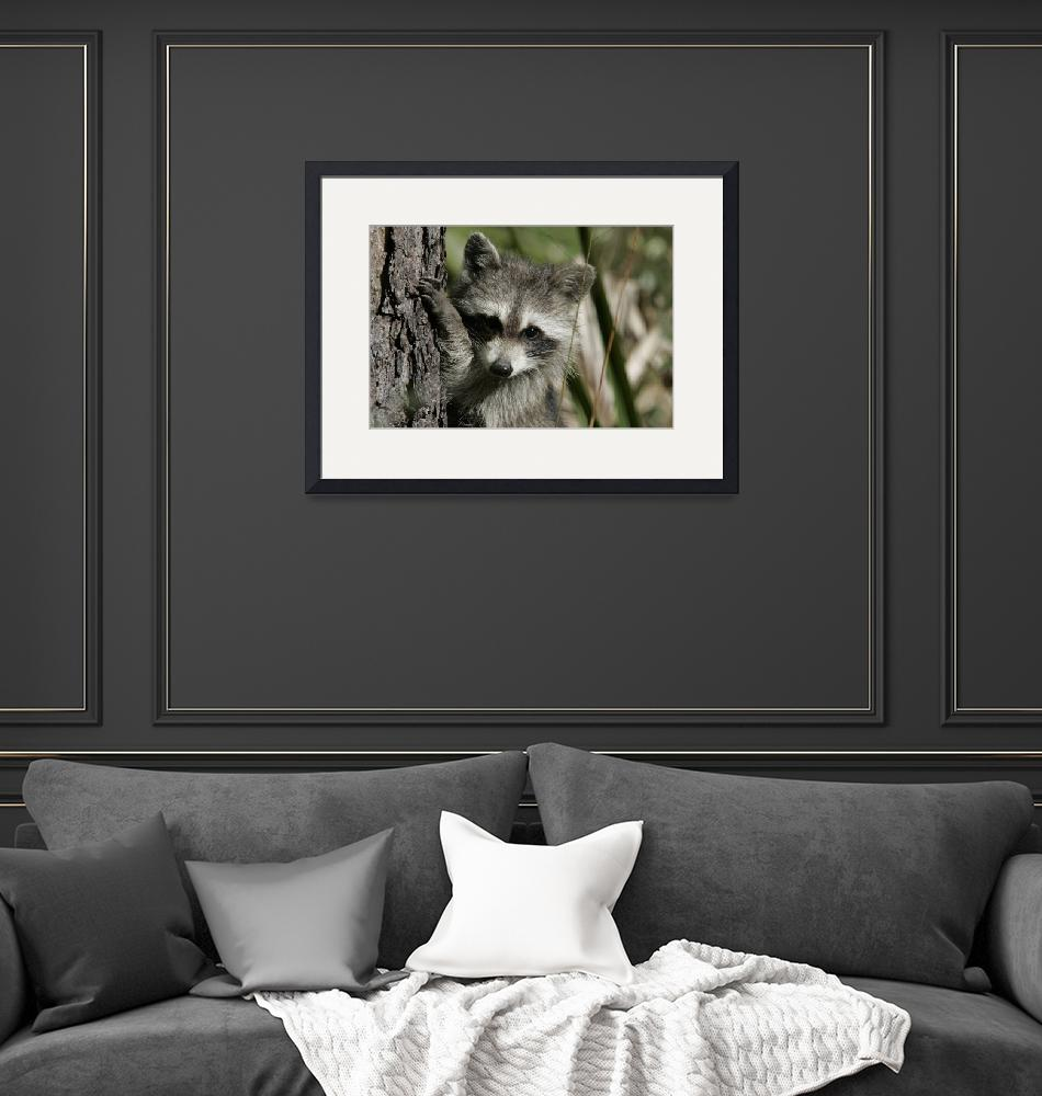"""""""Raccoon 1DH286highres""""  by jimcrotty"""