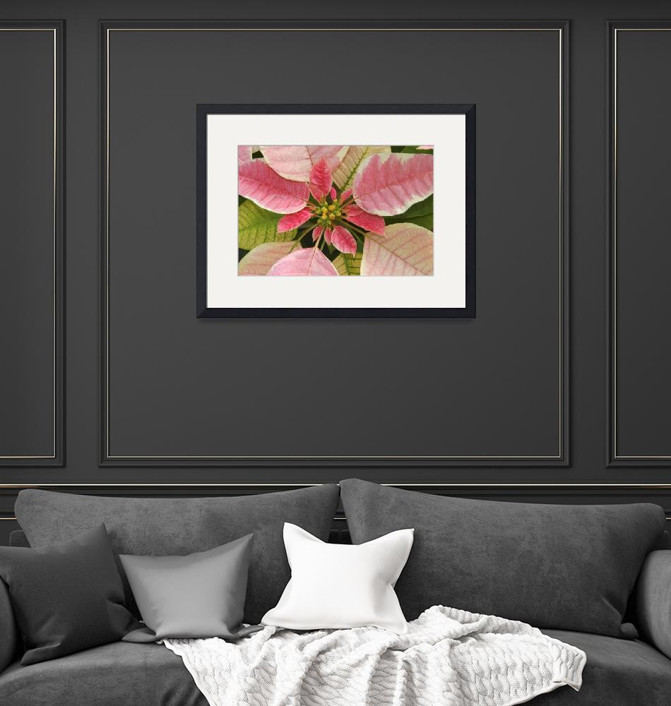 """""""Close-Up Of Pink Poinsettia""""  by DesignPics"""