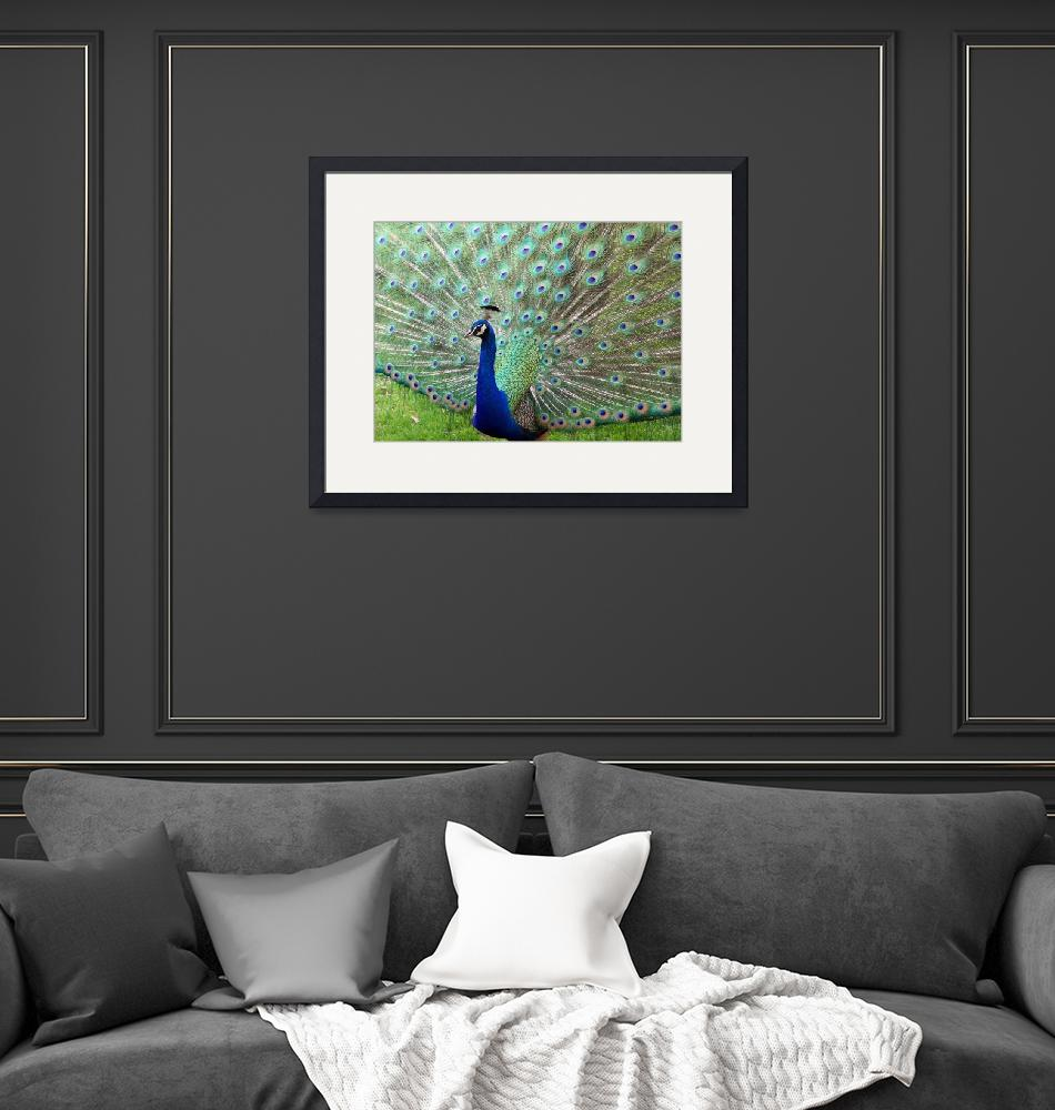 """""""Peacock on Full Display""""  (2006) by cariofthevalley"""