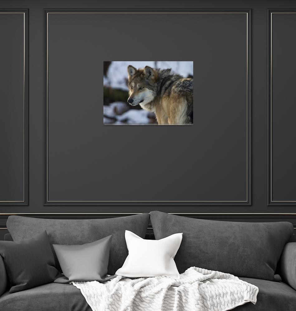 """""""Mexican Gray Wolf""""  (2010) by LarryBohlin"""