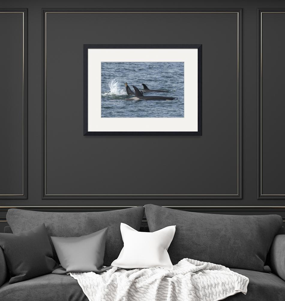 """""""Orca Family and Splash from Baby Orca""""  (2018) by SederquistPhotography"""