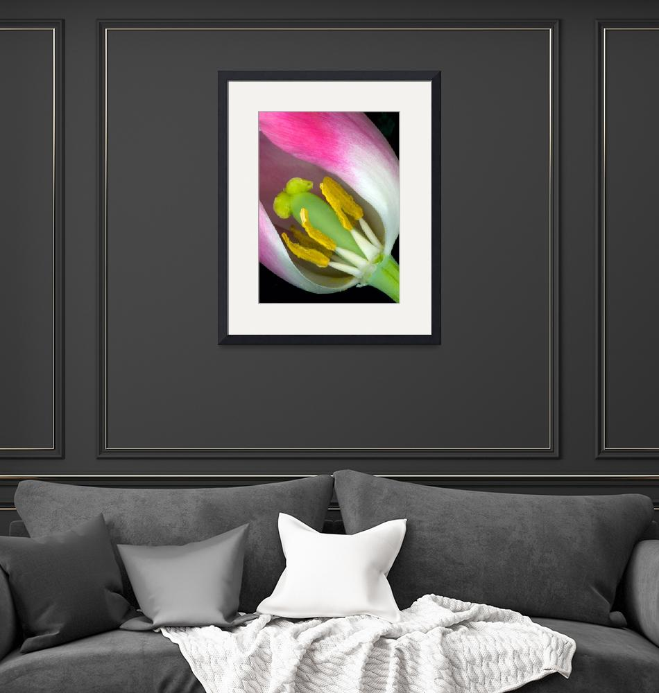 """""""The Tulip Exposed""""  by dnldwks"""