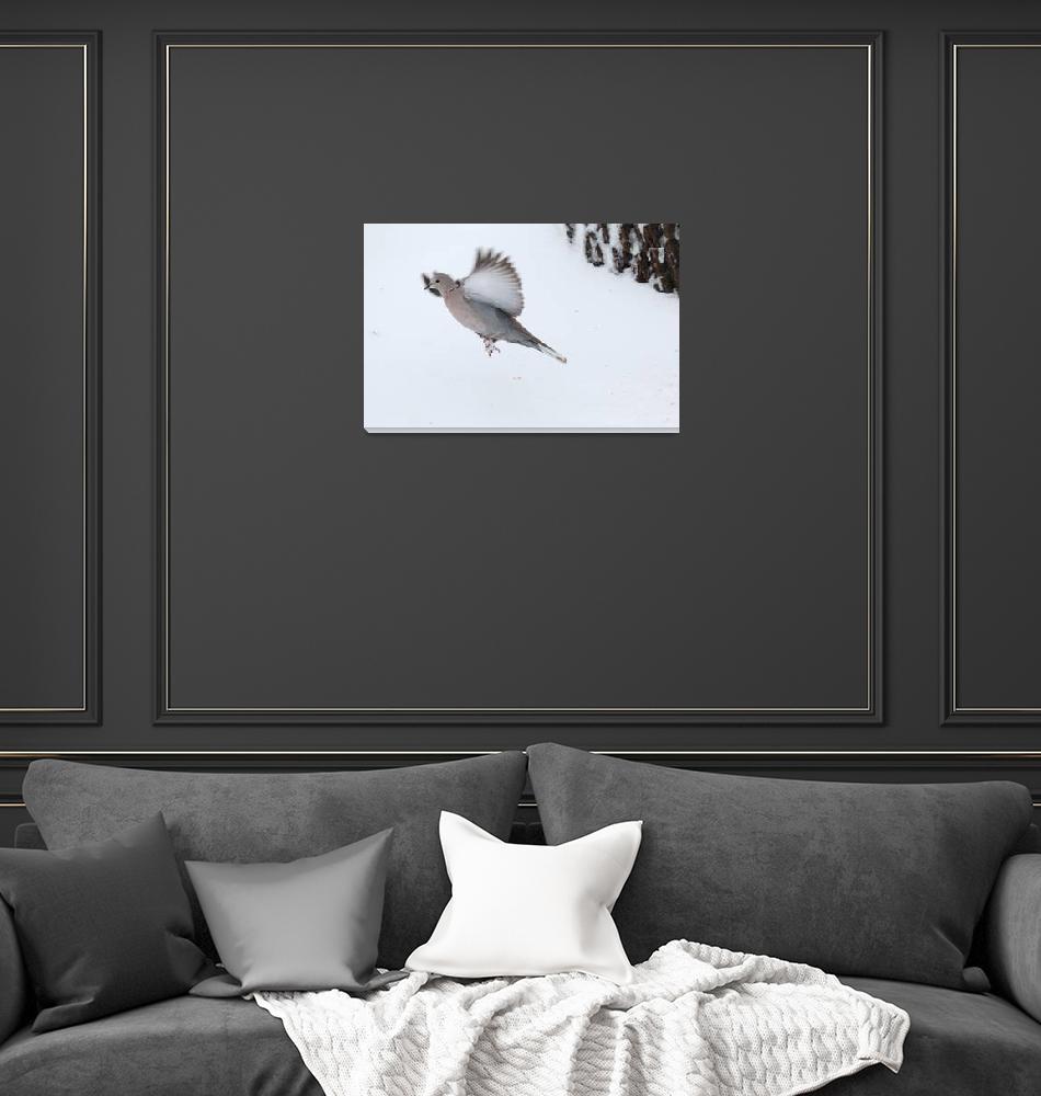 """Eurasian Collard Dove""  by cameragal"