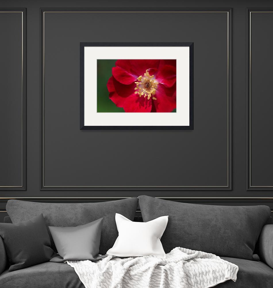 """""""Large Red Poppy""""  (2006) by ispyimagination"""