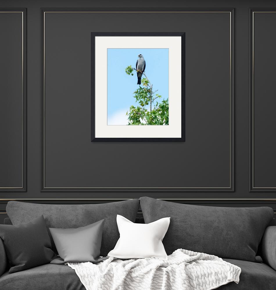 """""""Mississippi Kite on Sugar Maple and Holding Prey"""" (2014) by NatureAsArt"""