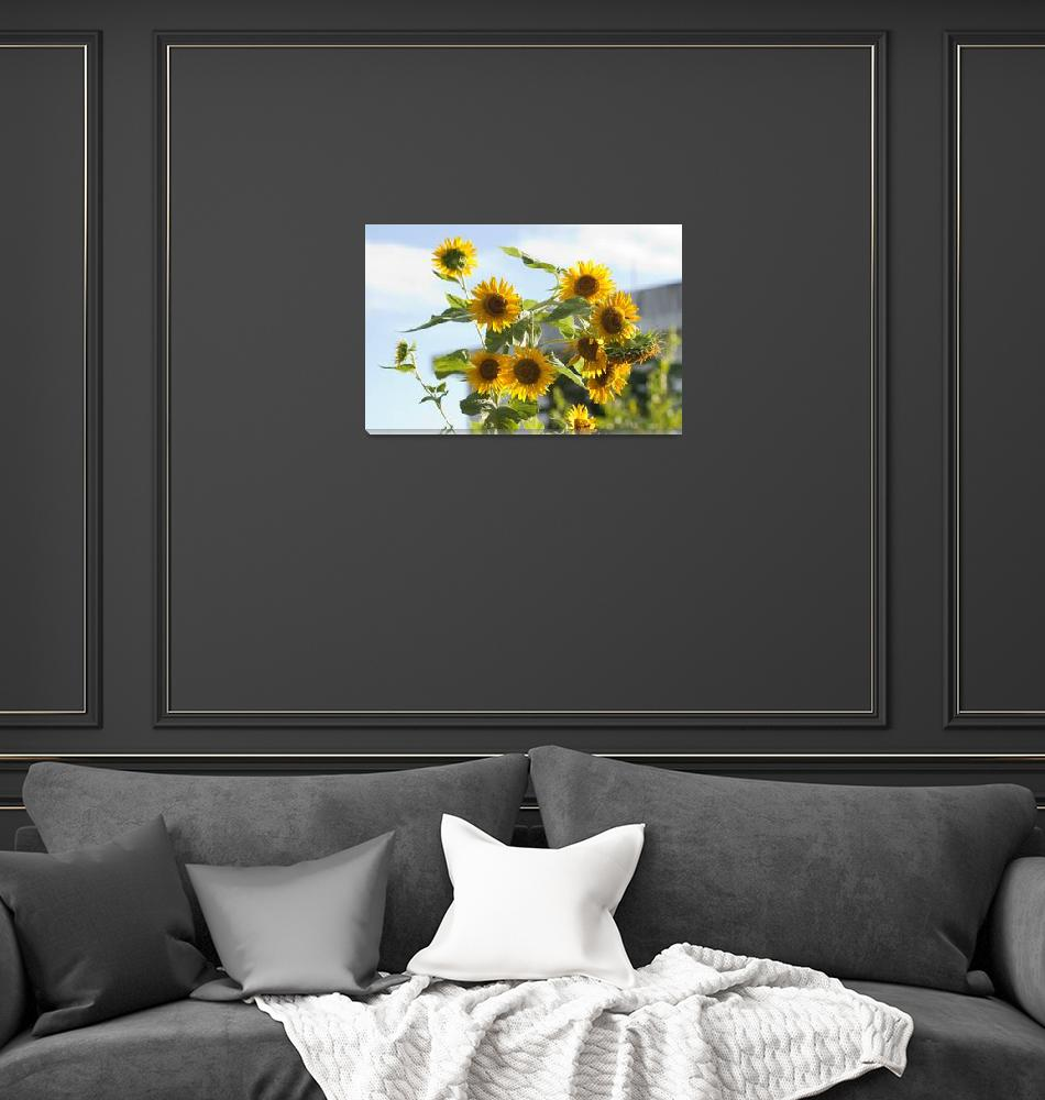 """Sunflower (Helianthus annuus)""  (2011) by Rajeshbac"